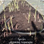 Asparagus Growing Tips & Questions Answered