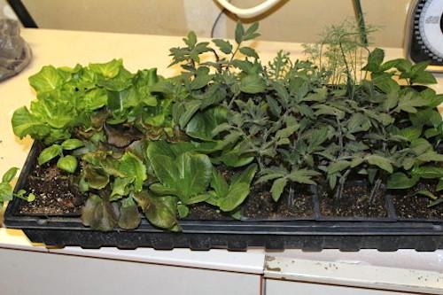 Veggie seedlings - Our stony Acres