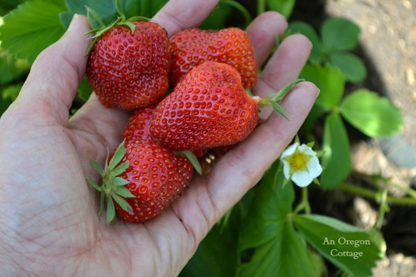Handful of Strawberries - An Oregon Cottage