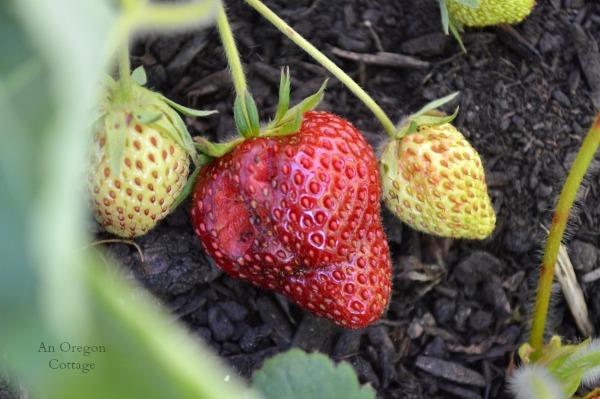 Strawberry with Slug Bite - An Oregon Cottage