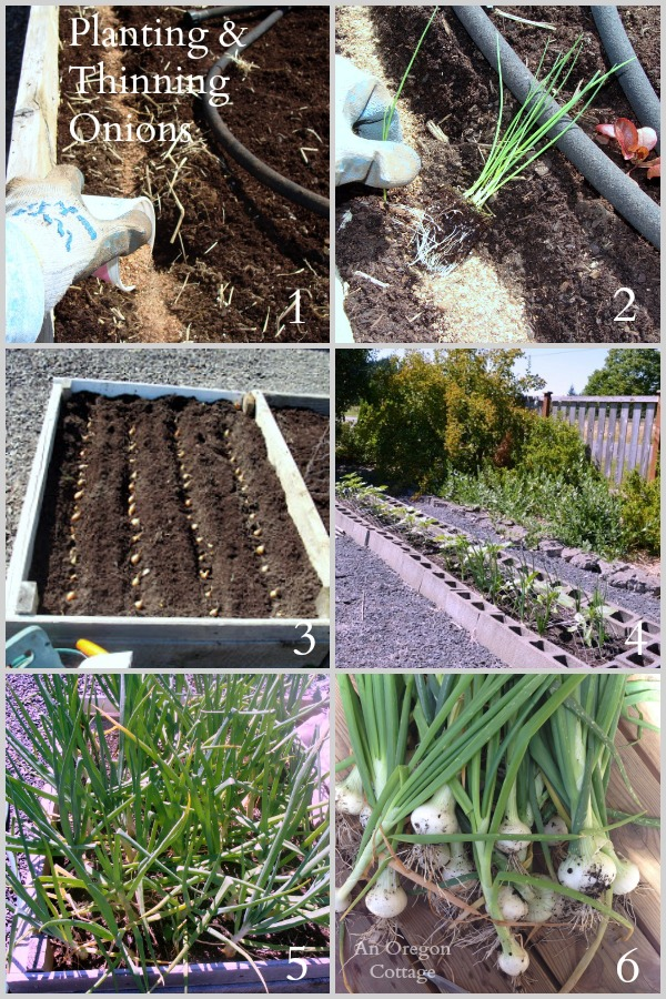 Ultimate Onion Guide-Planting and Thinning Onions via An Oregon Cottage