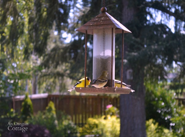 Yellow Finches at Bird Feeder