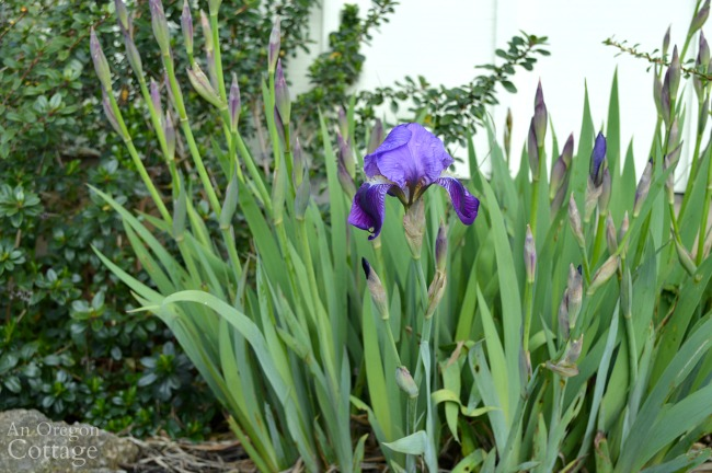 March cottage garden-iris buds and blossom