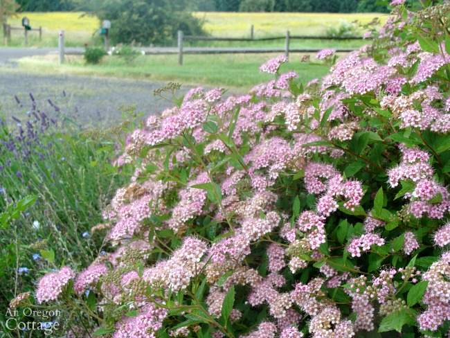 All-time favorite plants-Spirea