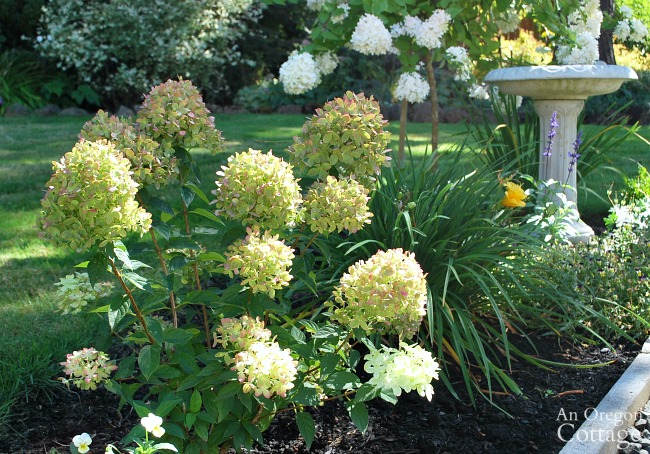 Best plants for every garden-Hydrangeas