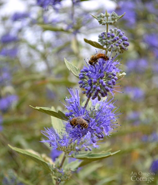 Fall blooming Caryopteris-Blue Mist Shrub