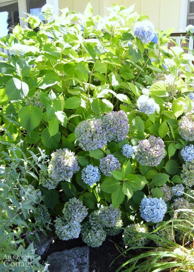 Hydrangea before pruning-deadheading