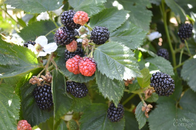 Triple Crown Thornless Blackberry-stages of fruiting in August