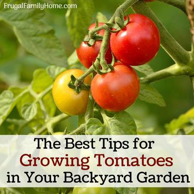 Tips for Growing Tomatoes-Frugal Family Home