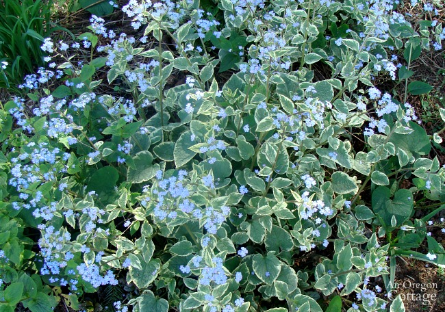 Plants for Gardening in the Shade-Jack Frost Brunnera