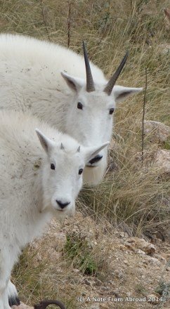 Wild Mountain Goats (mother and baby)