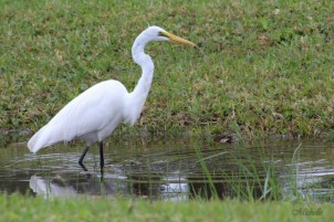 Egret, Waiting For a Meal to Swim by.
