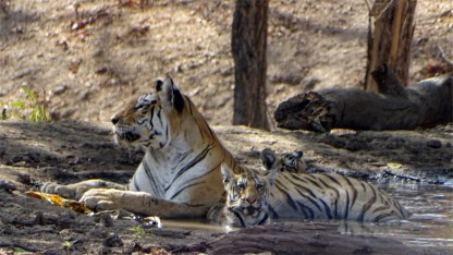 Collarwali with her cubs, cooling off in Pench National Park