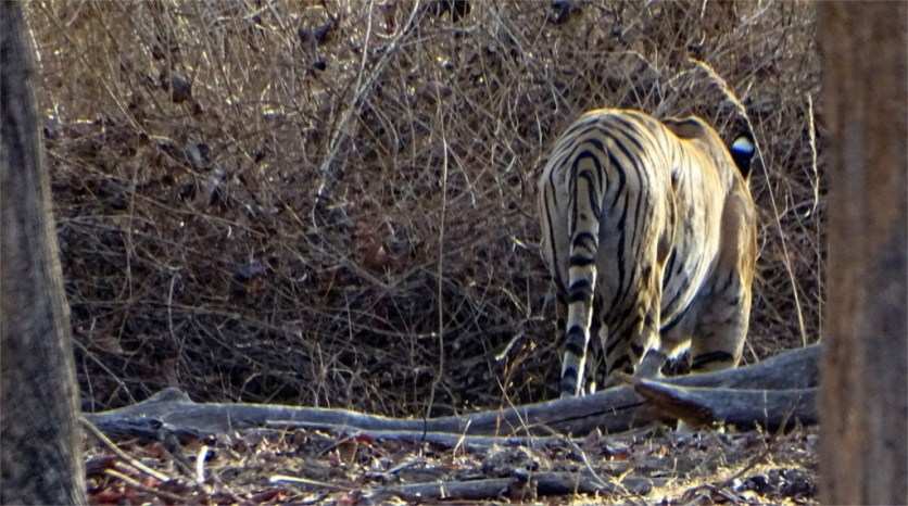 Collarwali remain absolutely still when she spots prey in Pench National park