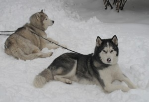 my siberian huskies - kona and kailua