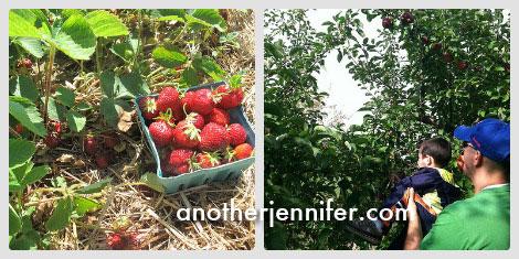strawberryapplepicking