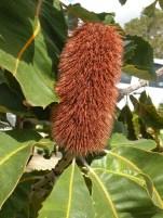 Big Bad Banksia 5