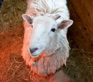 Little Lamb 195