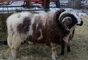 Little Lamb 209
