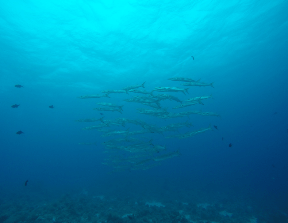Barracuda shoal