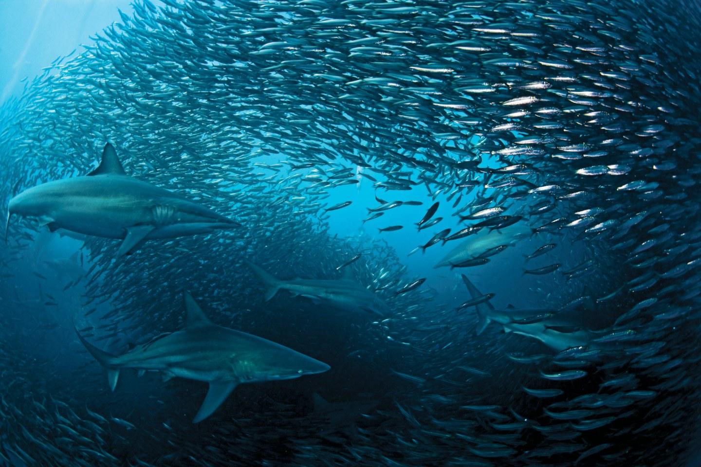 sardine-run-1