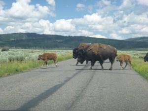 Buffalo at Grand Teton Nation Park, WY