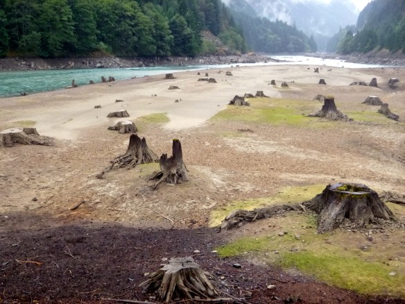 Dead tree stumps in former bed of Skagit River show evidence of rapidly changing water levels due to glacial outwash, North Cascades National Park, WA