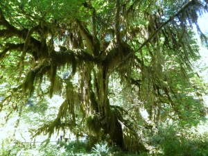 Spikemoss on tree, Hall of Mosses Trail, Hoh Rainforest, Olympic National Park