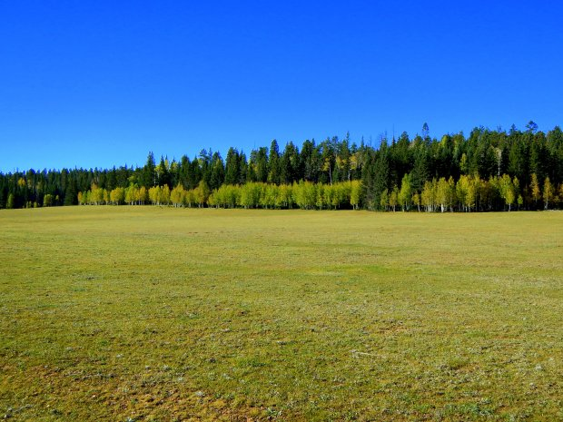 More aspen in a meadow, Kaibab National Forest, Arizona