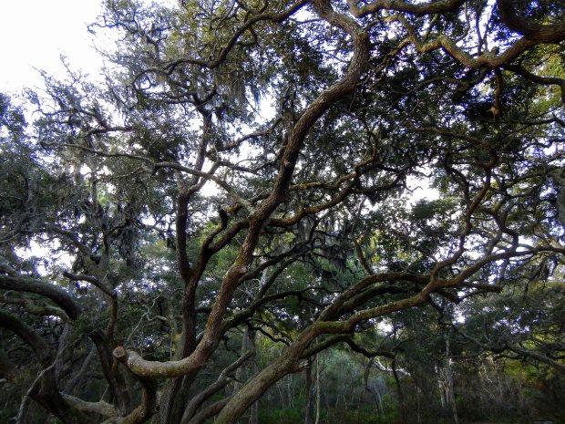 Gnarled oak, Little Talbot Island State Park, Florida