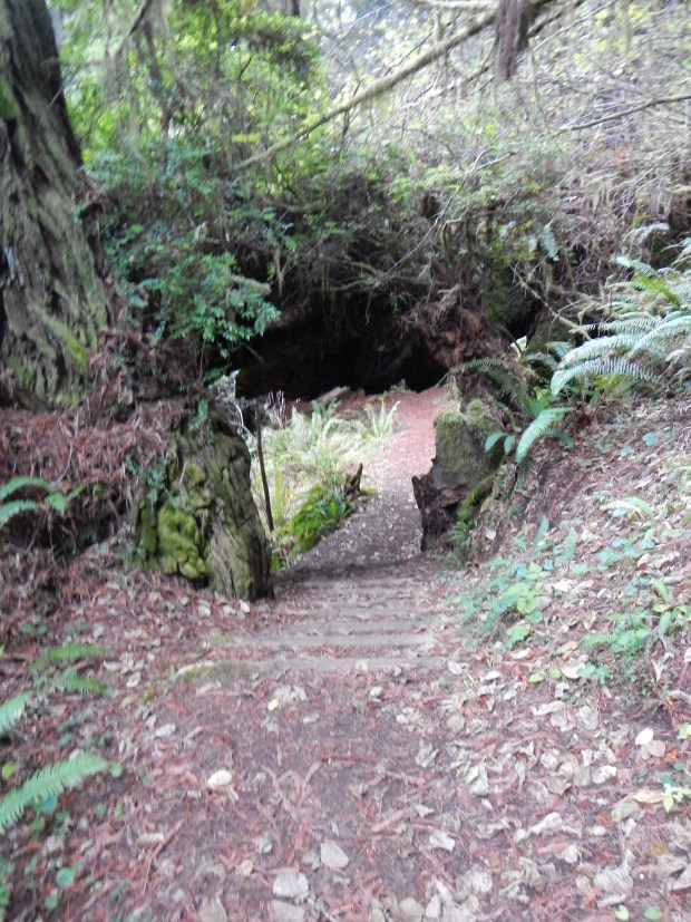 Moorman Grove Trail, Prairie Creek State Park, California (Blurry but the best I could get my camera to do)