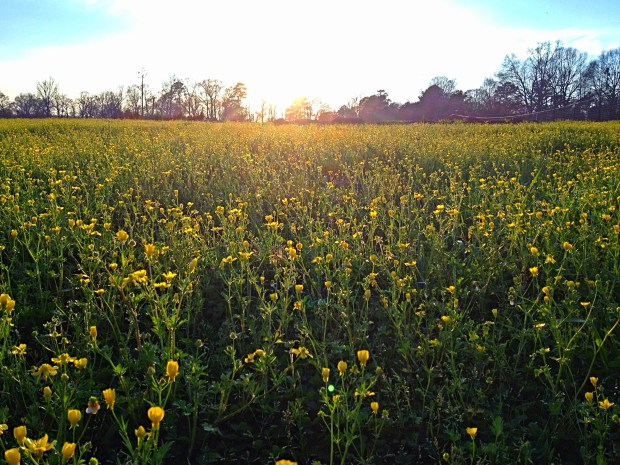 Heaven: The loveliest, most perfect buttercup field in the world, New Day Farm, Clinton, Louisiana