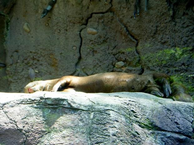 Giant River Otter taking a nap, Philadelphia Zoo, Philadelphia, Pennsylvania