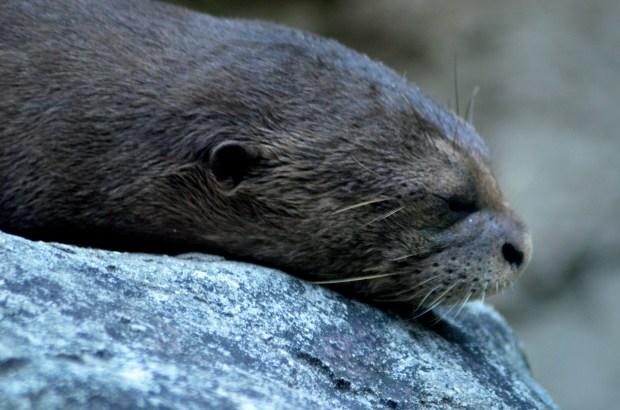 Giant River Otter sleeping, Philadelphia Zoo, Philadelphia, Pennsylvania (Photo by Tina)