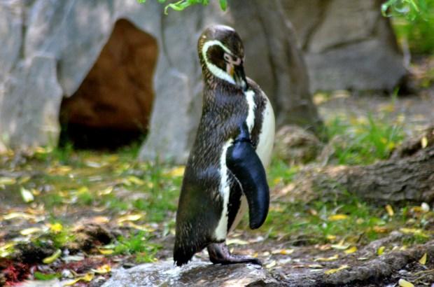 Penguin, Philadelphia Zoo, Philadelphia, Pennsylvania (Photo by Tina)