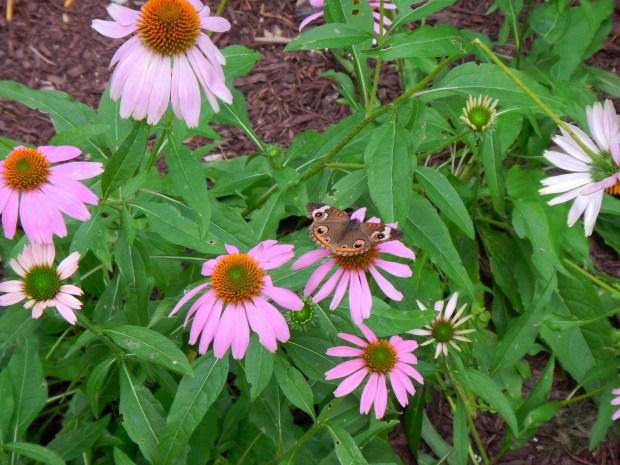 Orange Supphur (I think), Butterfly Garden, Airlie Gardens, Wilmington, North Carolina