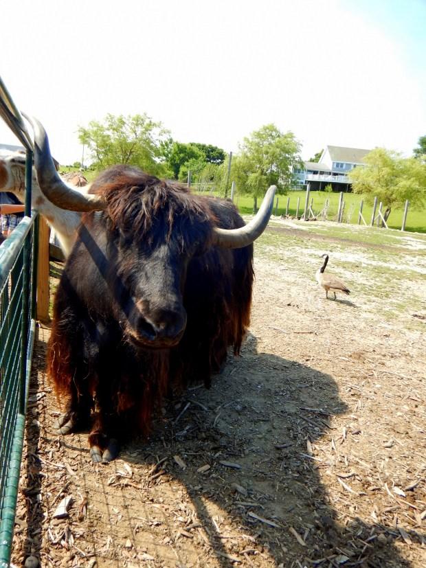 Yak in zoo, Block Island, Rhode Island
