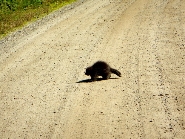 Baby porcupine crossing the road