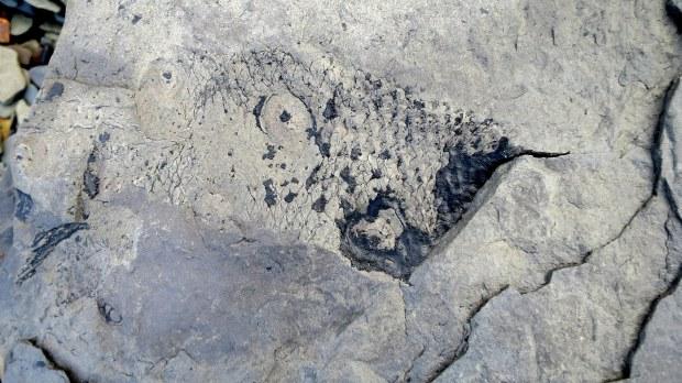 Lepidodendron trunk, Joggins Fossil Cliffs, Nova Scotia, Canada