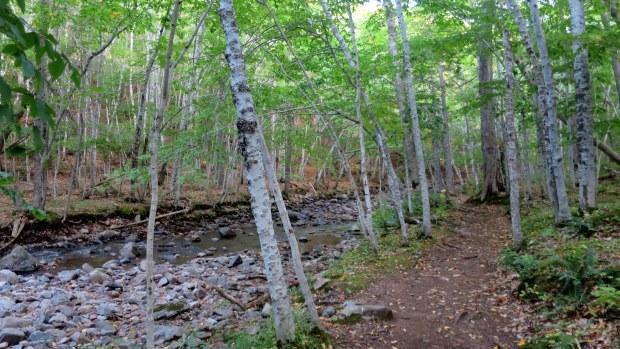 Birch on MacIntosh Brook Trail, Cape Breton Highlands National Park, Nova Scotia, Canada