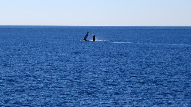 Humpback whale flippering, Bay of Fundy, Nova Scotia, Canada