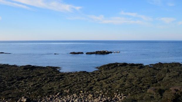 Seals lounging at low tide, Coastal Trail, Brier Island, Nova Scotia, Canada
