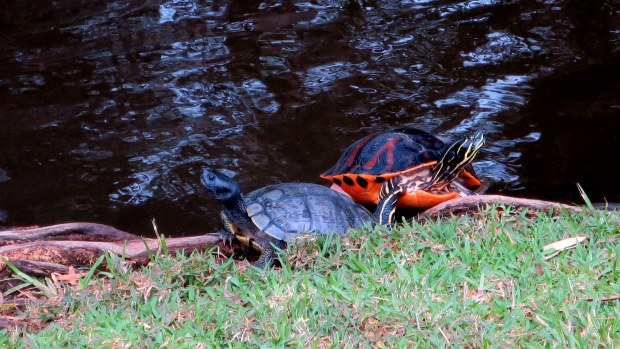 Yellow-Bellied Slider (right) and Florida Cooter (left), George C. McGough Nature Park, Largo Narrows, Florida