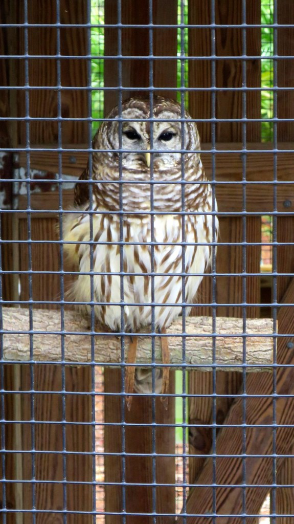 Matilda, an injured female barred owl, George C. McGough Nature Park, Largo Narrows, Florida