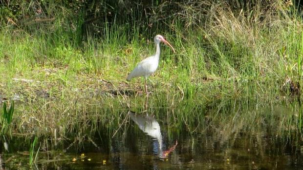 White ibis, Myakka River State Park, Florida