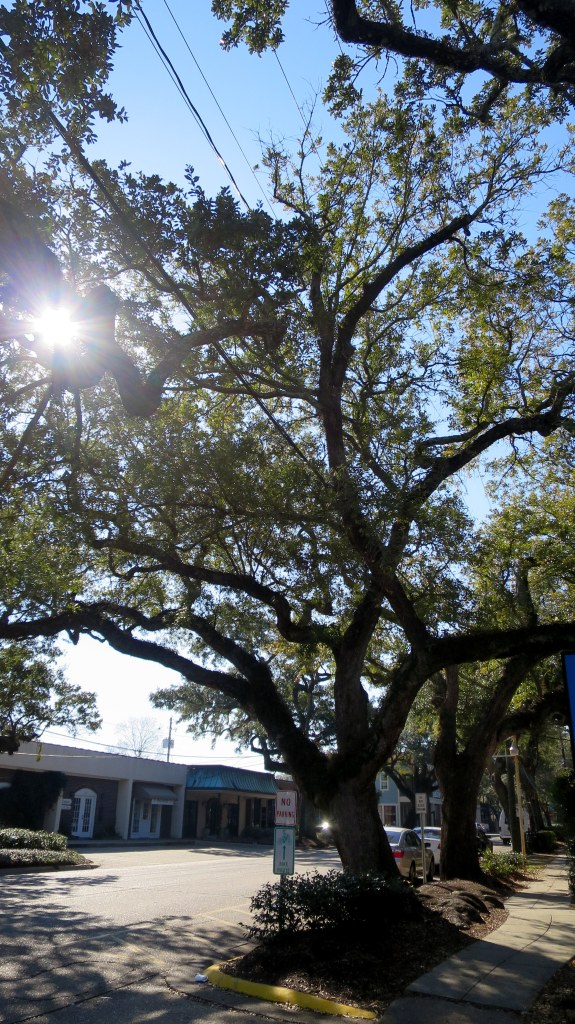 Live oak on Main Street, Ocean Springs, Mississippi