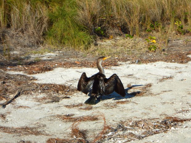 No idea what kind of bird this is but it's awesome, East Beach, Fort De Soto Park, Florida