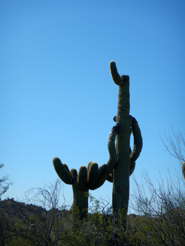 Saguaro, Victoria Mine Trail, Organ Pipe Cactus National Monument, Arizona
