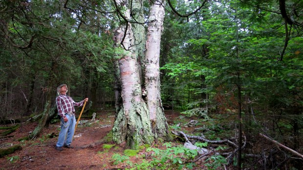 Really large tripartite birch tree, Top of the Giant Trail, Sleeping Giant Provincial Park, Ontario, Canada