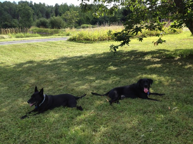 Two black dogs in the shade: Abby and Scruffy